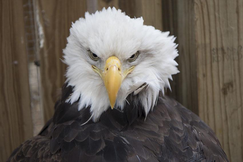Bald Eagle Dorothy Parker